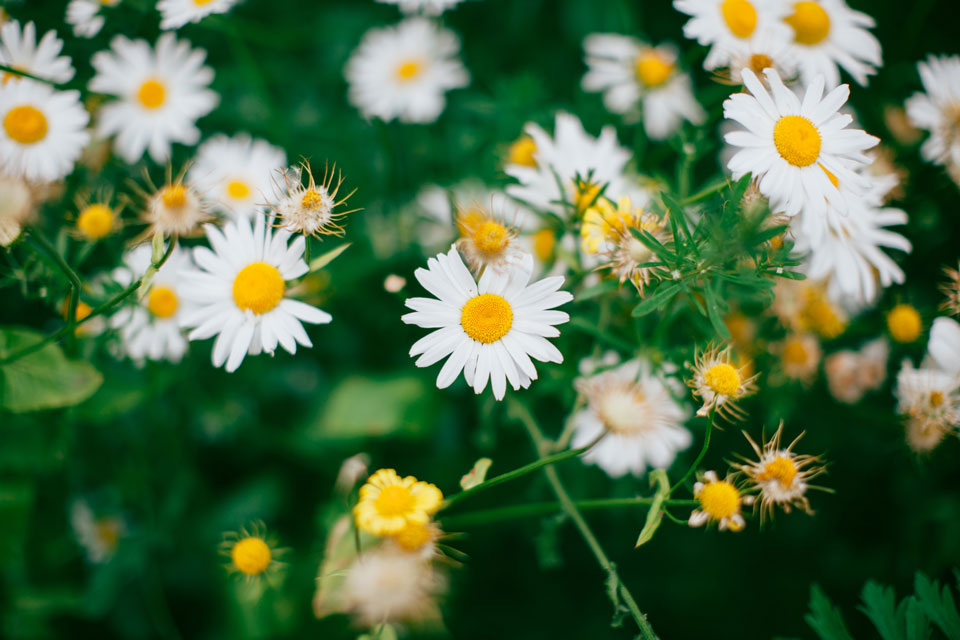 white-flowers-plants-daisies--leaves-blurred
